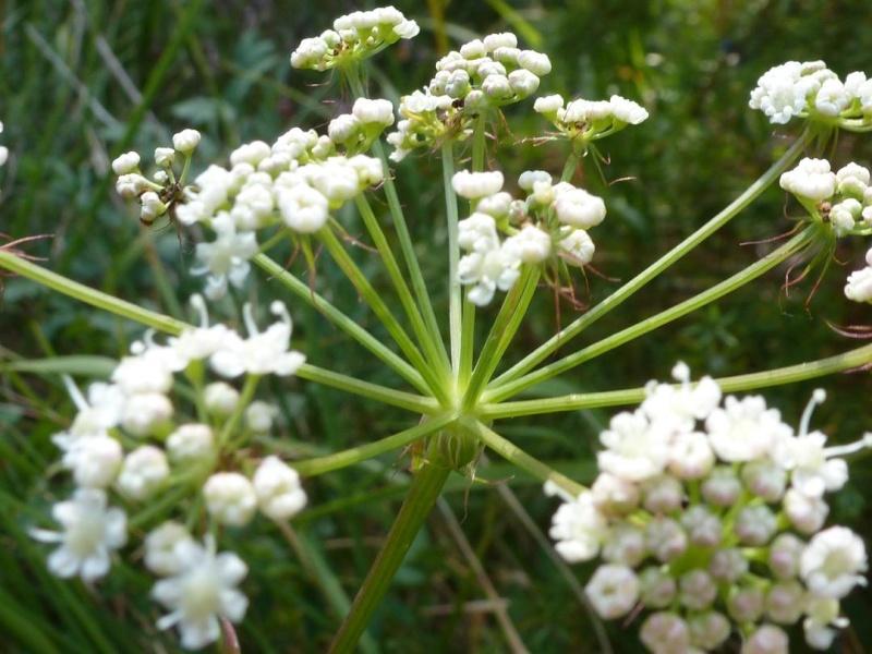 Peucedan herbes aux cerfs / Peucedanum cervaria P1060111