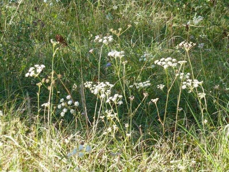 Peucedan herbes aux cerfs / Peucedanum cervaria P1060121
