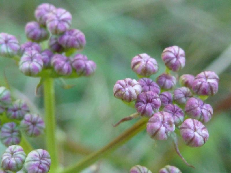 Peucedan herbes aux cerfs / Peucedanum cervaria P1060123