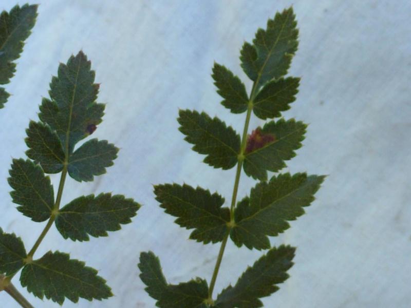 Peucedan herbes aux cerfs / Peucedanum cervaria P1060124