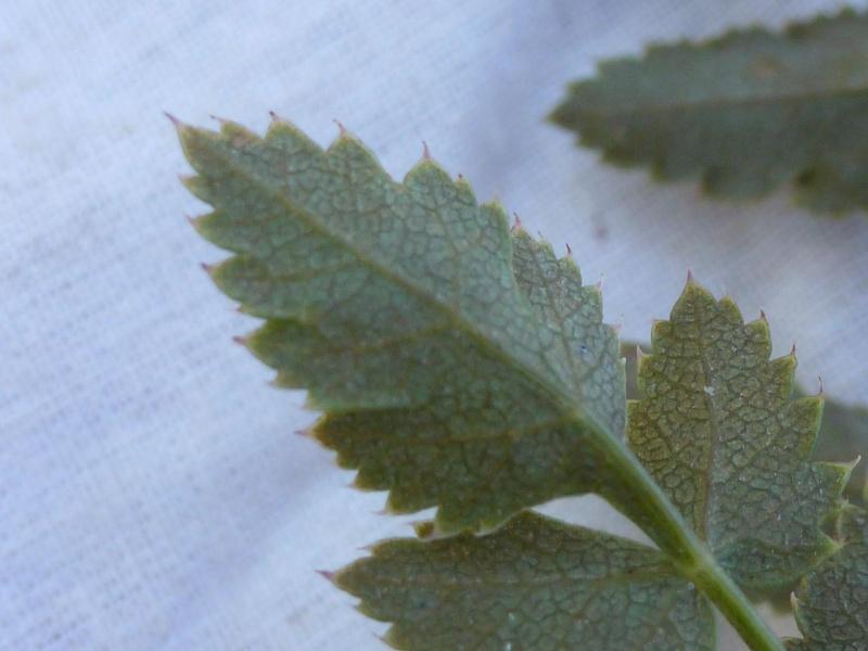 Peucedan herbes aux cerfs / Peucedanum cervaria P1060125