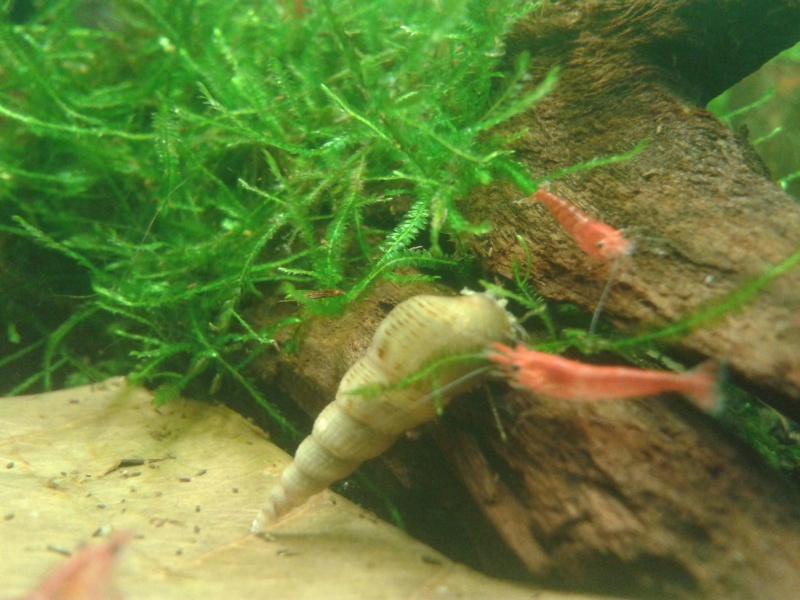 Le nano de paulo !  20L Blue Pearl !  2012-110