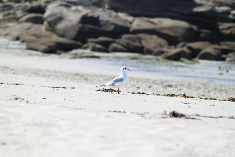 Espèce indigène du Morbihan le goéland padaire... Img_2212
