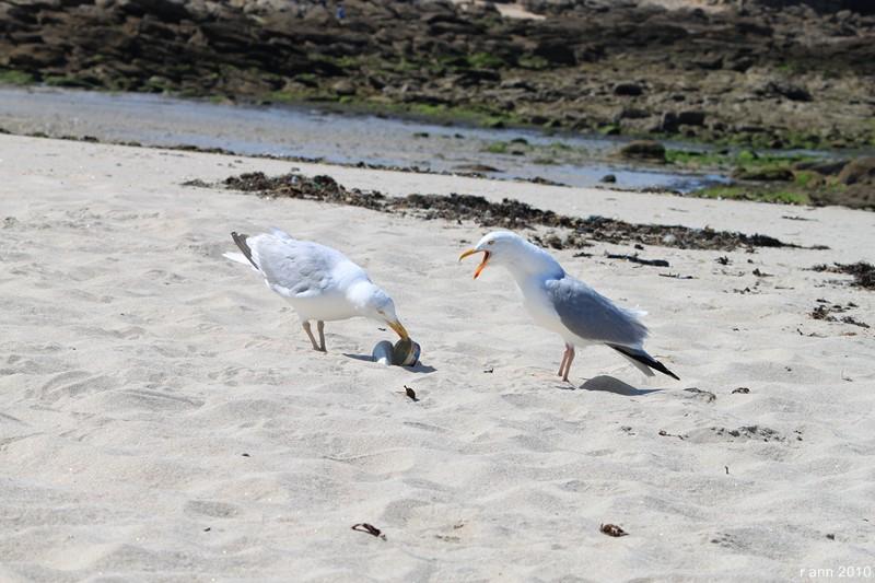 Espèce indigène du Morbihan le goéland padaire... Img_2216