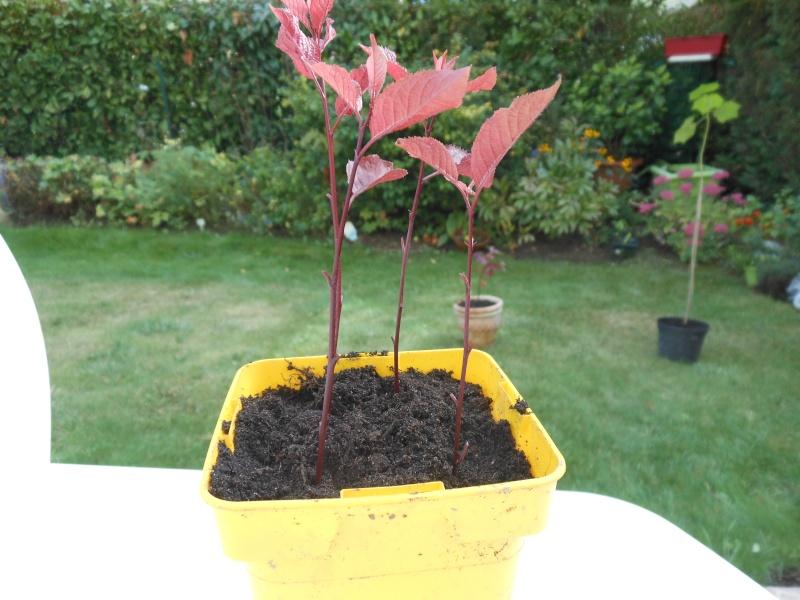 Boutures de Prunus Boutur10
