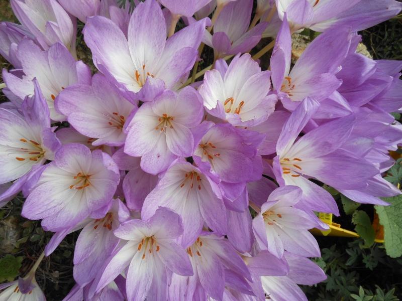 floraisons d'octobre - Page 9 Colchi13