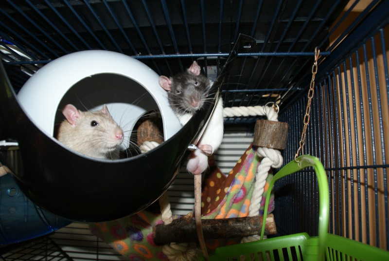 petit raton 3 semaines  Dsc04113