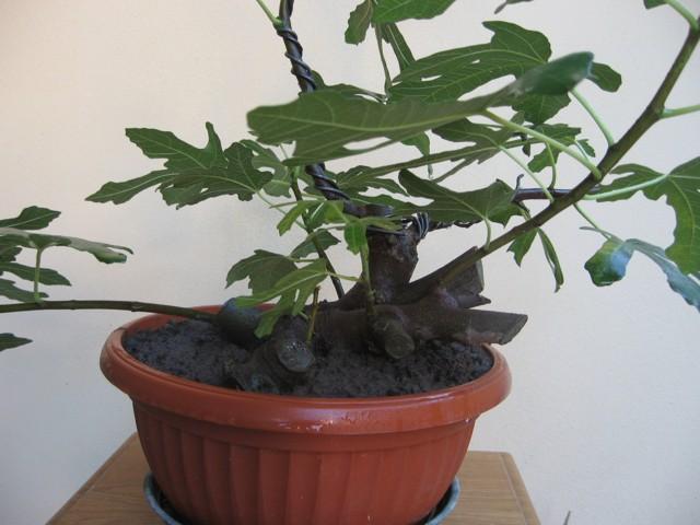Piccolo Ficus Carica - Pagina 3 Img_1311