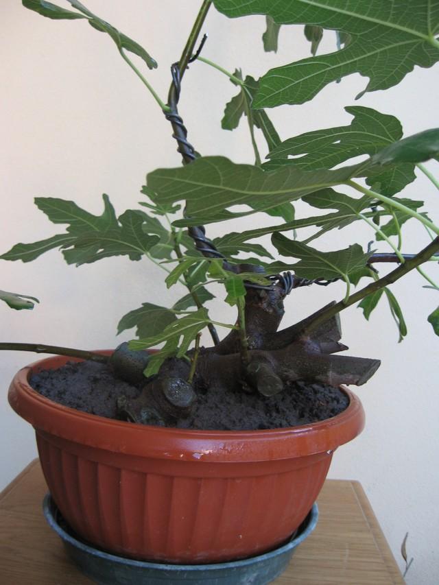 Piccolo Ficus Carica - Pagina 3 Img_1312
