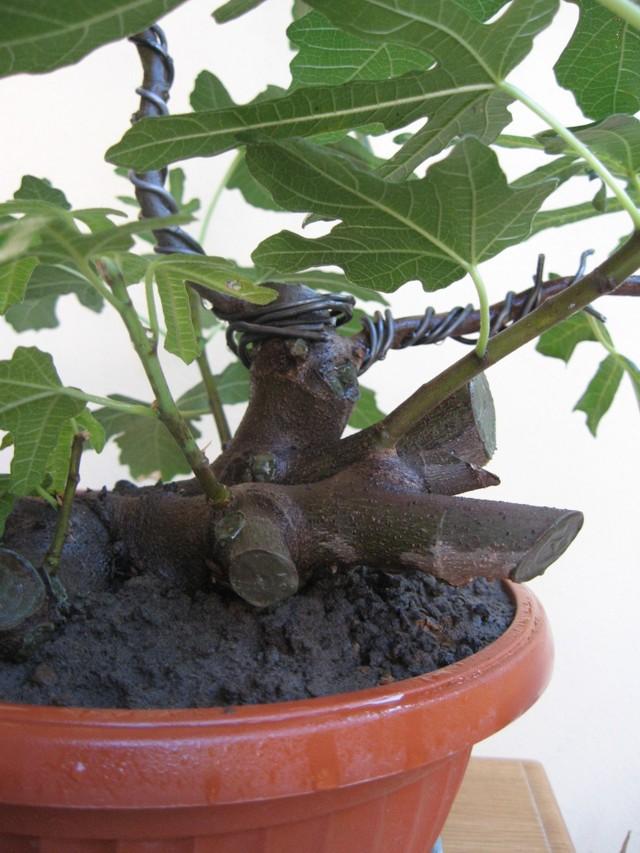 Piccolo Ficus Carica - Pagina 3 Img_1313