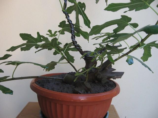 Piccolo Ficus Carica - Pagina 3 Img_1315
