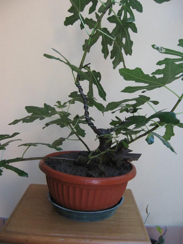 Piccolo Ficus Carica - Pagina 3 Img_1316