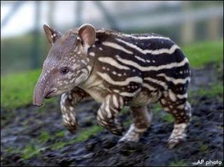 Les macs de la mignonnitude du règne animal - Page 2 Tapir10