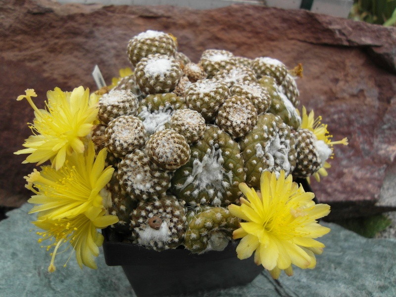 Copiapoa laui Sam_2813