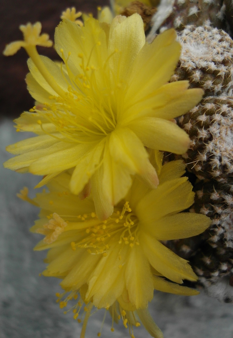 Copiapoa laui Sam_2910