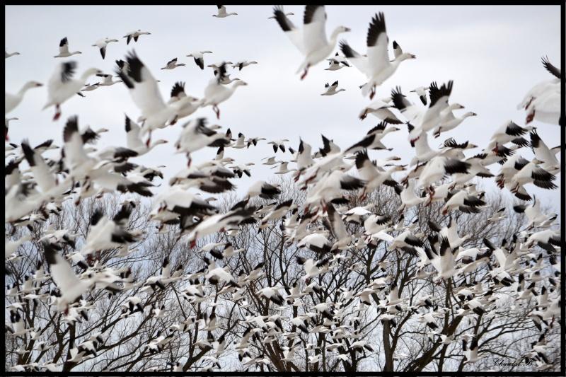 les oies blanche sont arriver 812
