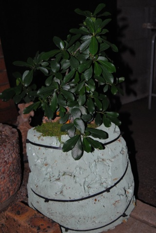 Root over rock/Clinging to rock- watering and inspection of planting made easy. Ficus11