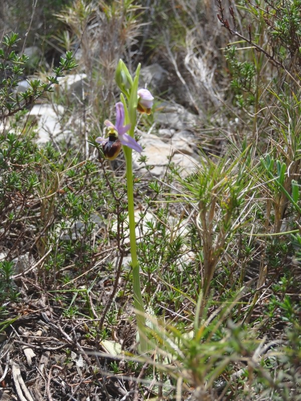 Ophrys splendida ( Ophrys brillant ) 2013-421