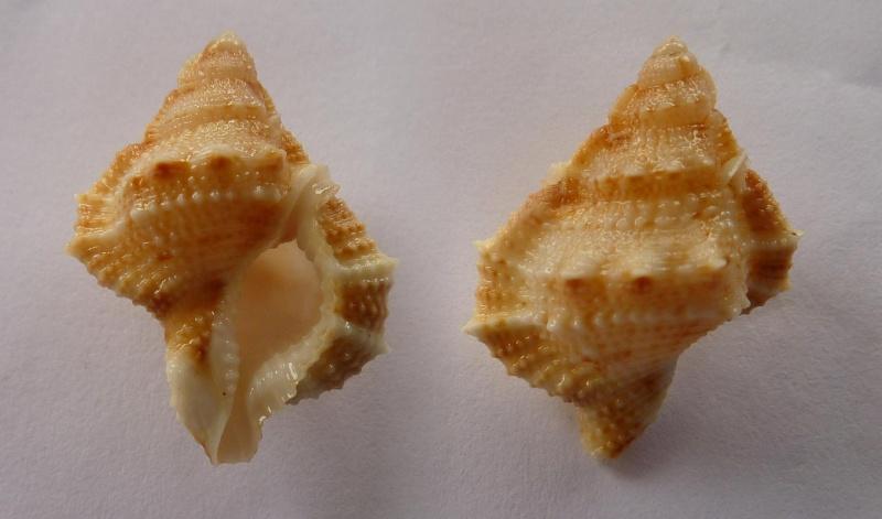 Bursina ignobilis - (Beu, 1987) Bursin10