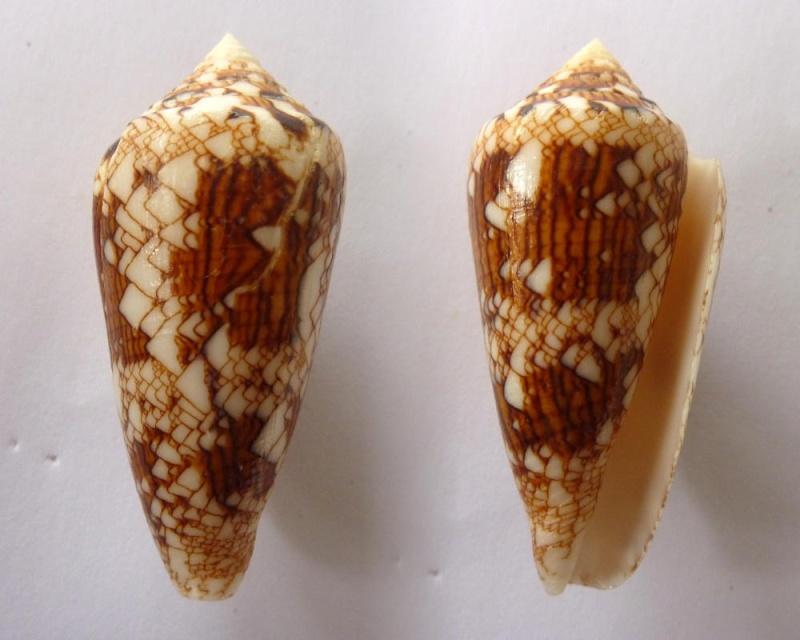 Conus (Cylinder) scottjordani (Poppe, Monnier & Tagaro, 2012) Conus_10