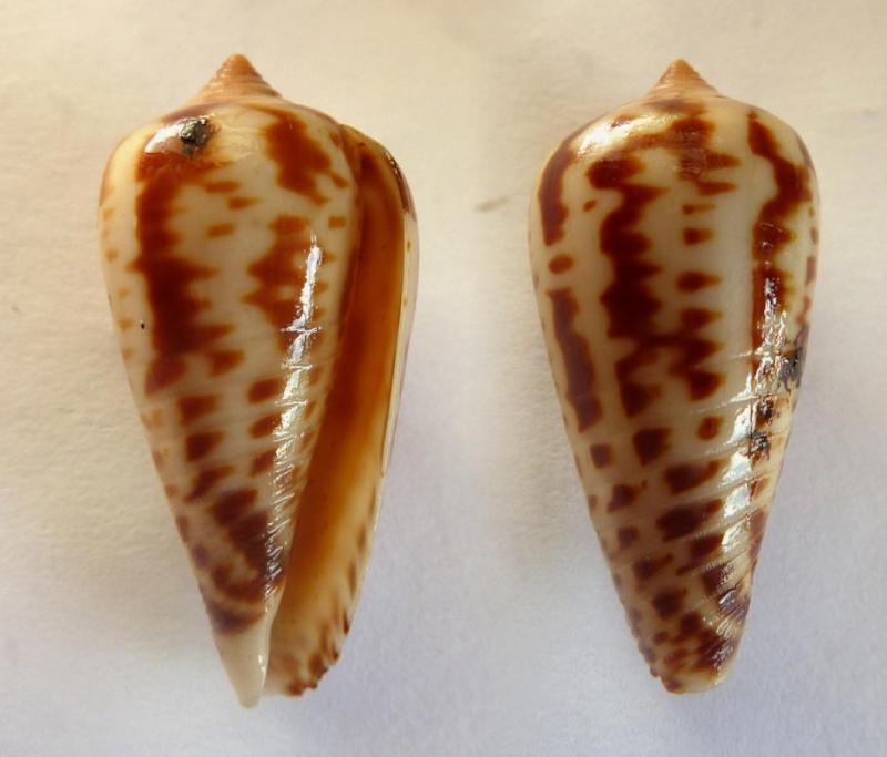 Conus (Phasmoconus) zebra   Lamarck, 1810 Conus_15