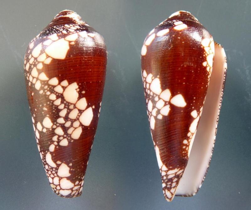 Conus (Darioconus) magnificus   Reeve, 1843 - Page 4 Conus_16
