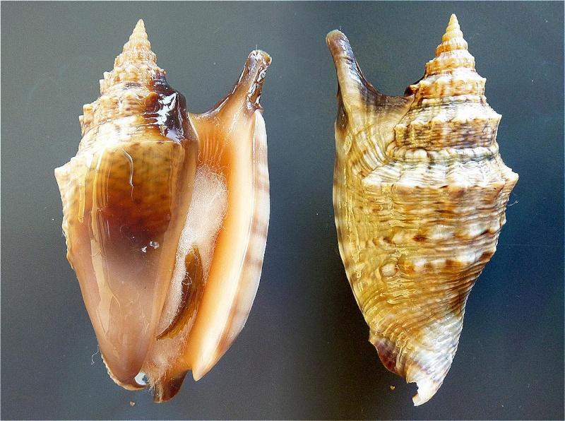 Euprotomus aratrum - (Röding, 1798) Euprot11