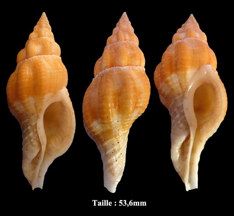 Fusolatirus sarinae - (Snyder, 2003) Fusola10