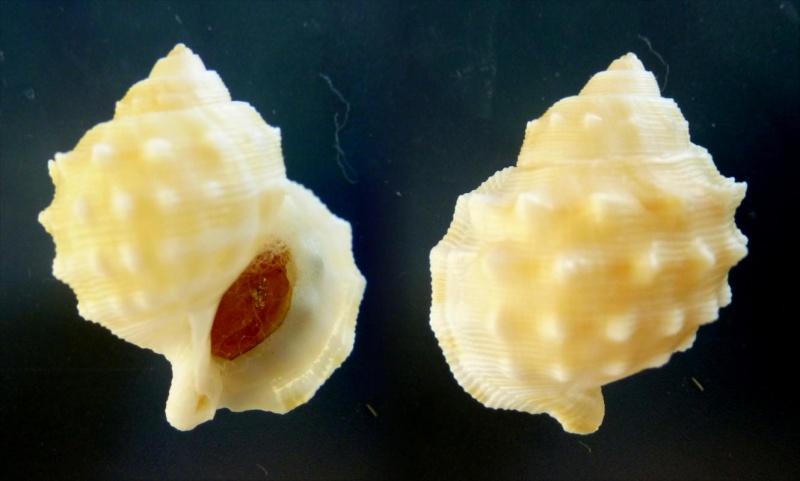 Galeodea maccamleyi - Ponder, 1983  Galeod11