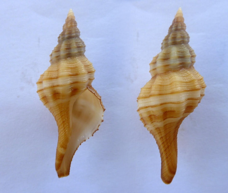 Granulifusus dondani - M. A. Snyder, 2003  Granil10
