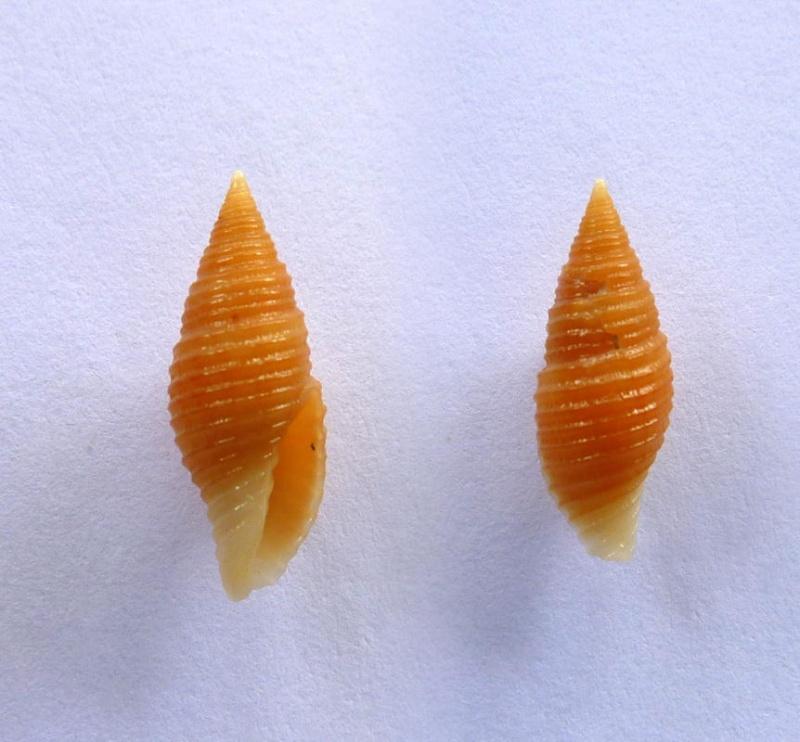 Pseudonebularia cingulata - (A. Adams, 1853) Mitra_11