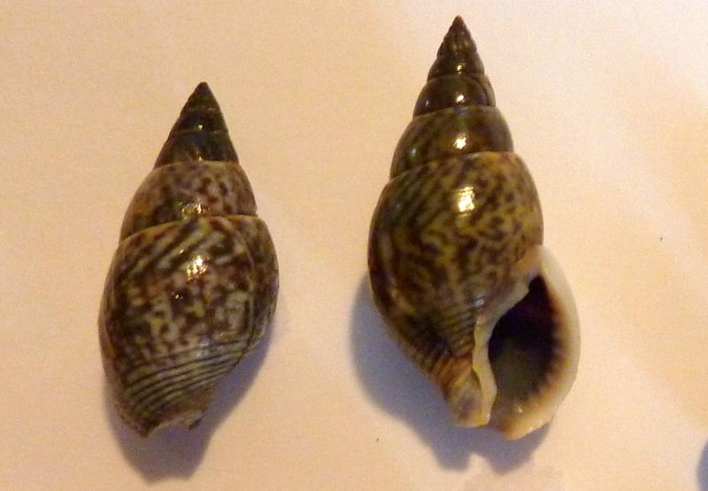 Nassarius_reeveanus_(Dunker_1847)_&_Nassarius_livescens_(Philippi_1849) P1110110