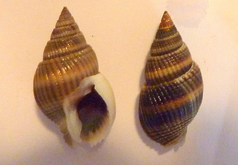 Nassarius livescens - (Philippi, 1849)  P1110113