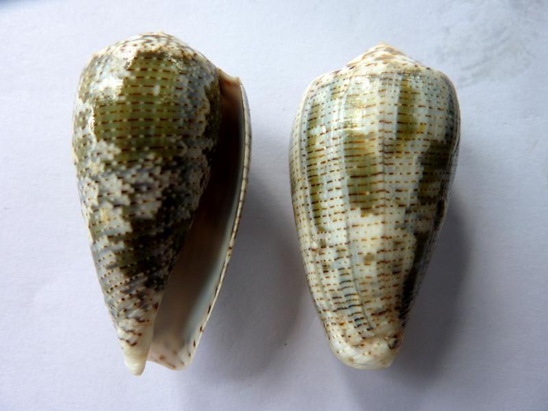 Conus (Pionoconus) barbara  Brazier,1898 P1110510