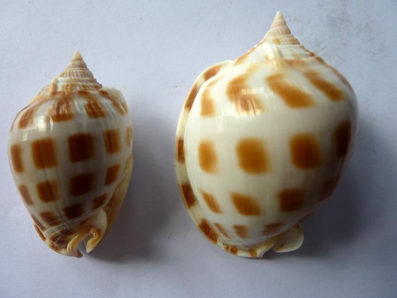 Phalium areola f. magnita - Iredale, T., 1927 P1110512