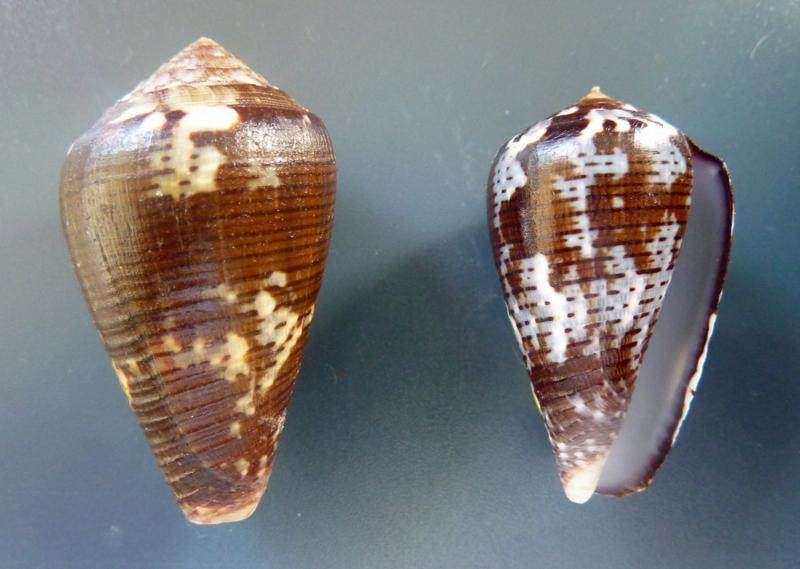 Conus (Pionoconus) catus fuscoolivaceus  Dautzenberg, 1937 P1110518