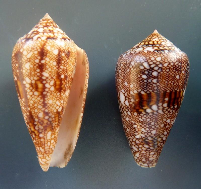 Conus (Cylinder) canonicus textilinus   Kiener, 1845  P1110519