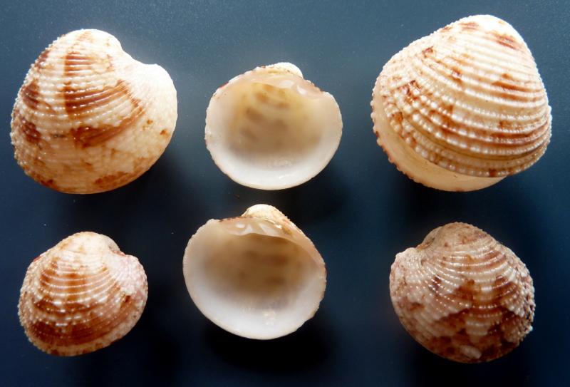 Globivenus toreuma - (Gould, 1850)  P1110710