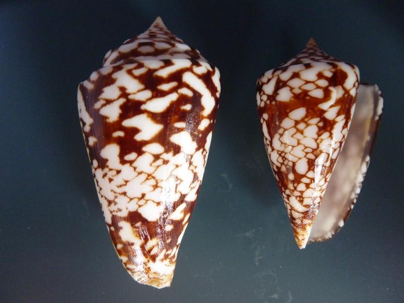 Conus (Leptoconus) castaneofasciatus  Dautzenberg, 1937 - Page 2 P1110910