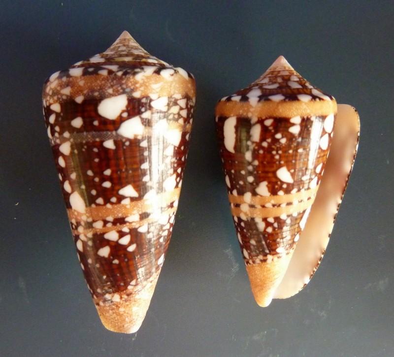 Conus (Cylinder) ammiralis  Linnaeus, 1758 - Page 3 P1110911
