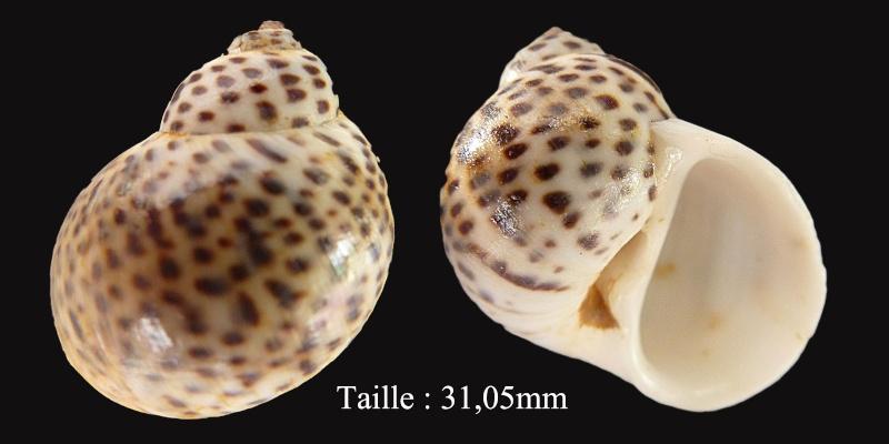 Notocochlis tigrina - (Röding, 1798) Sans-t10