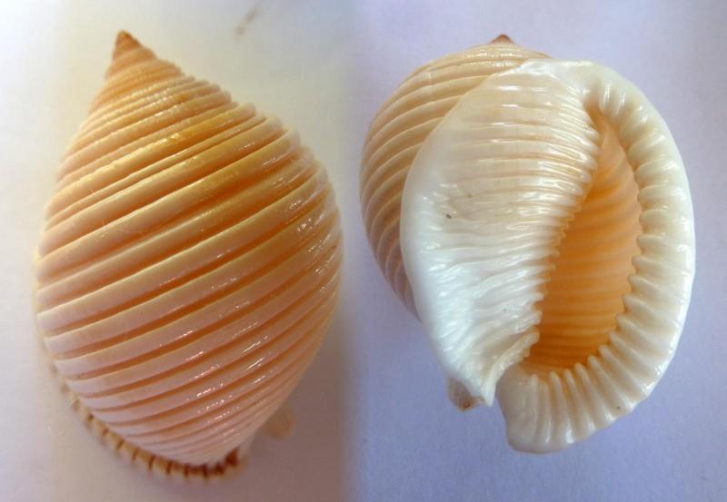 Semicassis umbilicata - (Pease, 1861) Sans_n11