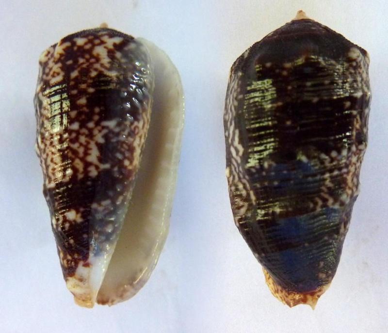 Morum tuberculosum - (Reeve, 1842) Sans_n15