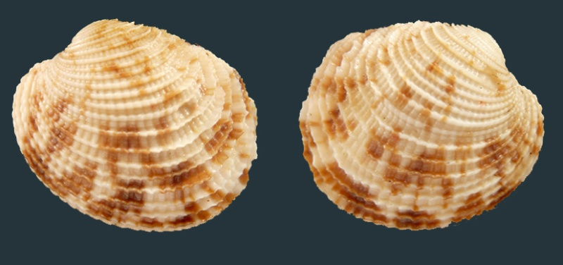 Globivenus toreuma - (Gould, 1850)  Sans_t11