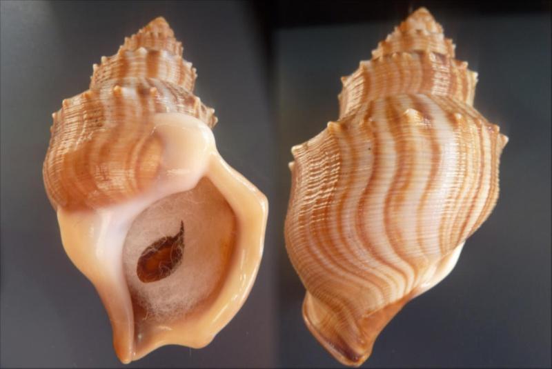 Struthiolariidae - Struthiolaria papulosa - (Martyn, 1784) Struhu10