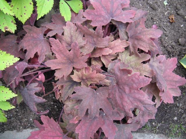 Heucherella  Redstone Falls Redsto10