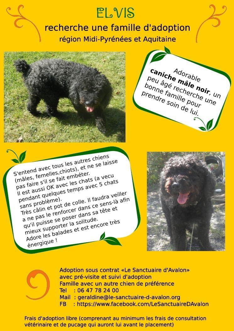 Gentil caniche noir mâle à adopter (région Midi-Pyrénées et Aquitaine) Elvisa10