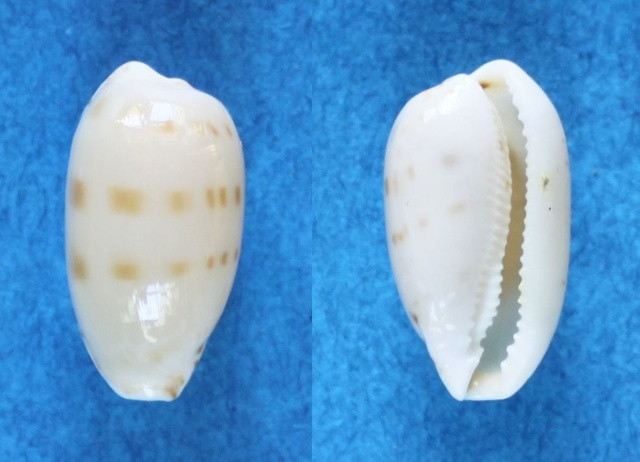Notocypraea piperita bicolor - (Gaskoin, 1849) Panora19