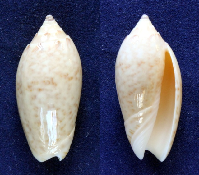 Americoliva fulgurator fulgurator (Röding, 1798) Panora37
