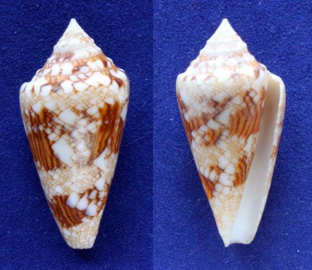 Conus (Cylinder) scottjordani (Poppe, Monnier & Tagaro, 2012) Panora43